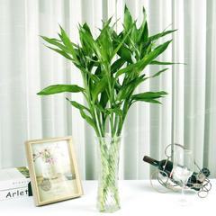 富贵竹水培植物转运竹盆栽植物室内水养净化空气绿植花卉四季好养