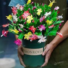 蟹爪兰盆栽兰绿植绿萝四季开花卉室内阳台蟹爪莲玫瑰带花苞绿植